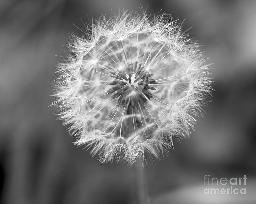 Blowing dandelion black and white - photo#14