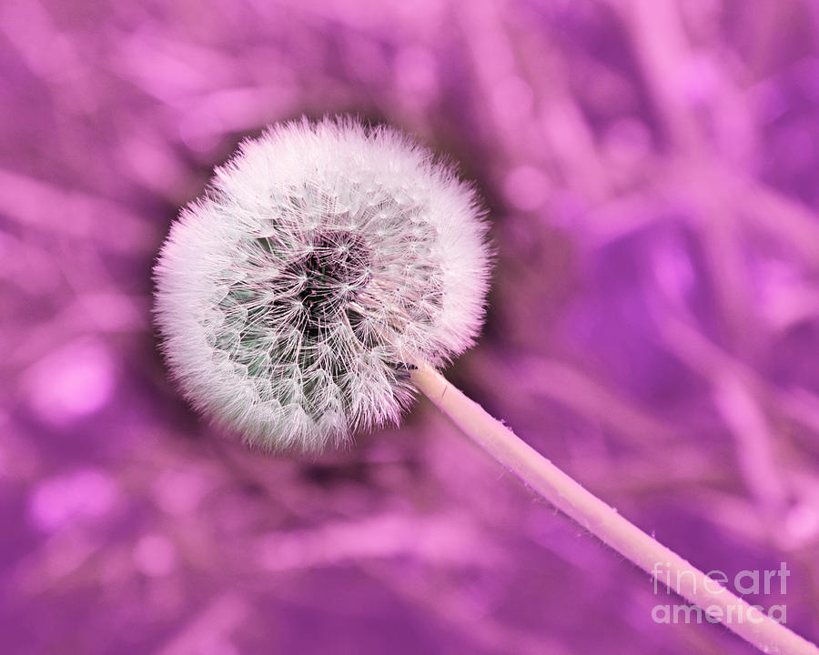 Just Dandy Mauve Photograph  - Just Dandy Mauve Fine Art Print