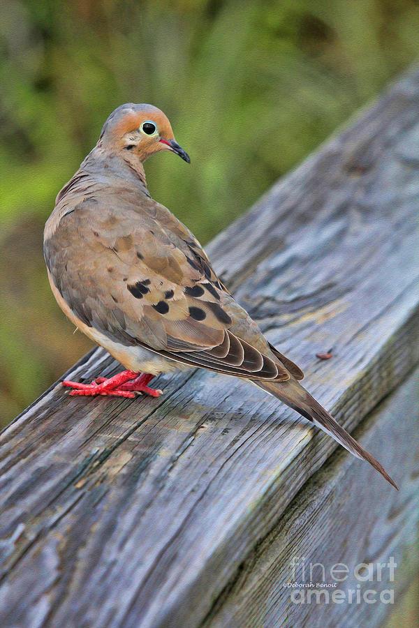 Dove Photograph - Just Hanging Around by Deborah Benoit