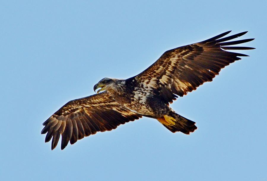 Juvenile Bald Eagle In Flight Close Up Photograph