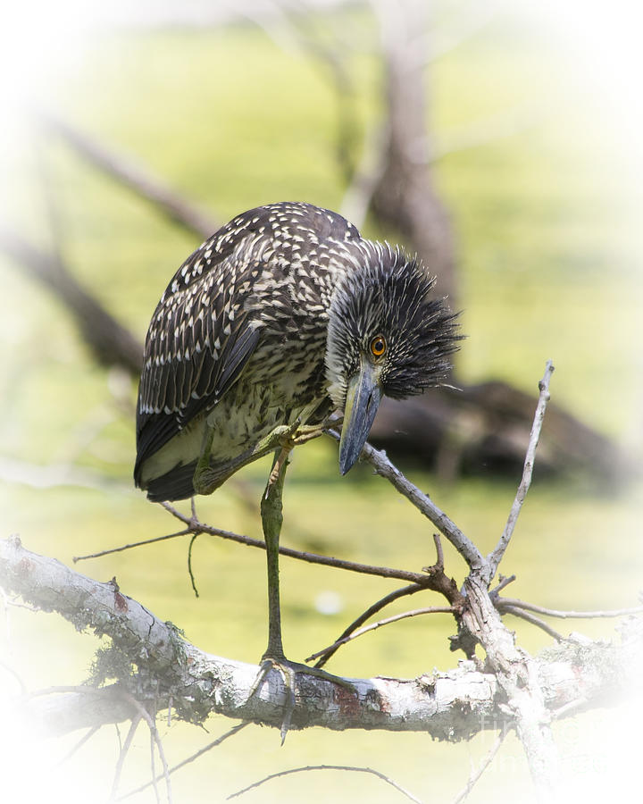 Juvenile Black-crowned Night Heron-vignette Photograph  - Juvenile Black-crowned Night Heron-vignette Fine Art Print