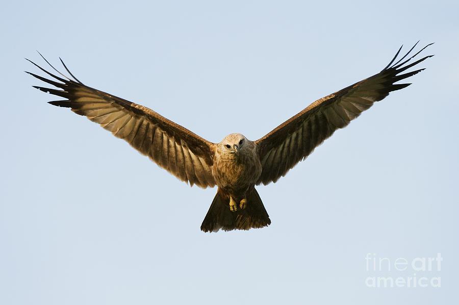 Brahminy Kite Photograph - Juvenile Brahminy Kite Hovering by Tim Gainey