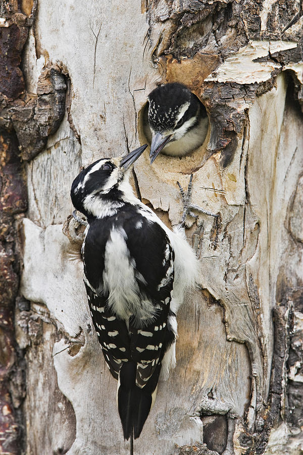 Juvenile Hairy Woodpecker Is Fed Photograph