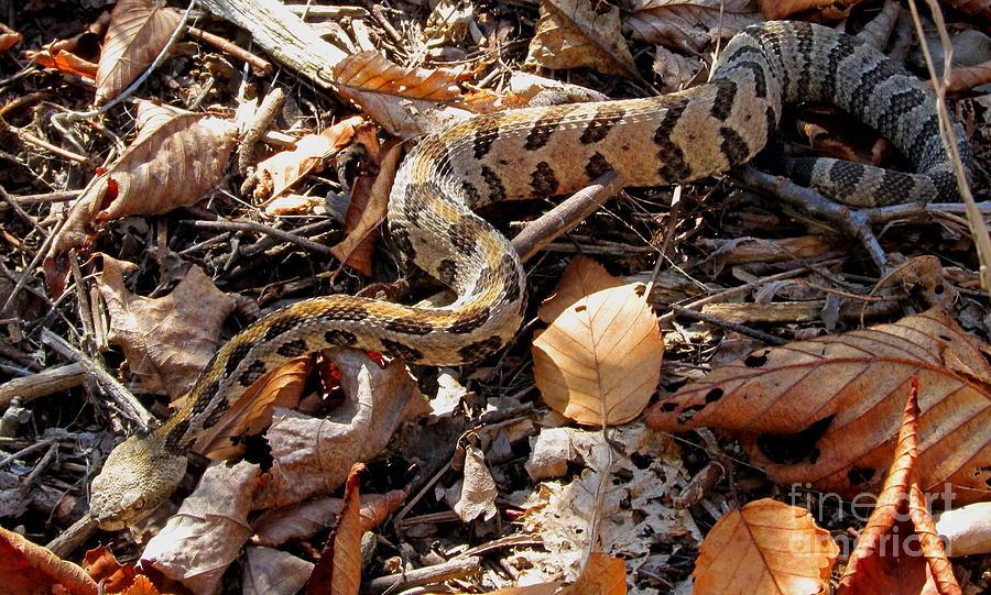 Juvenile Timber Rattlesnake Photograph by Joshua Bales