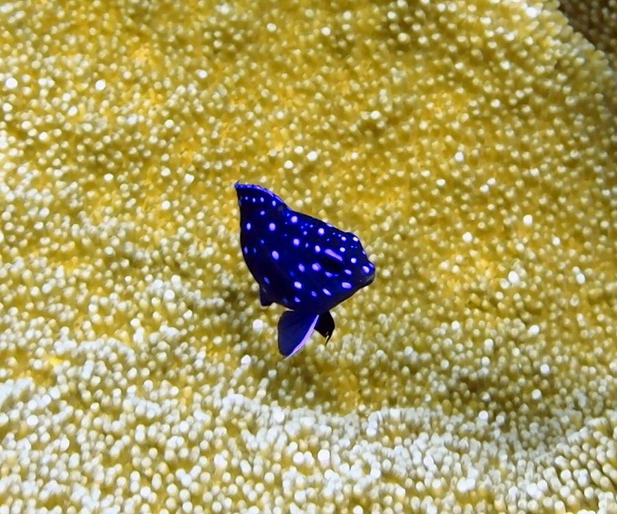 Juvenile Yellowtail Damselfish Photograph by Amy McDaniel
