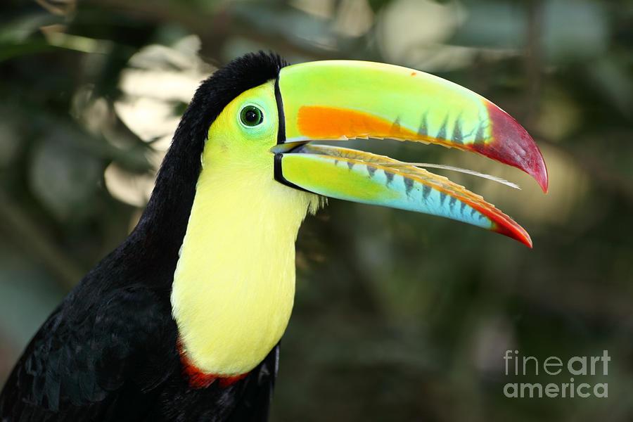 Keel Billed Toucan Photograph by James Brunker