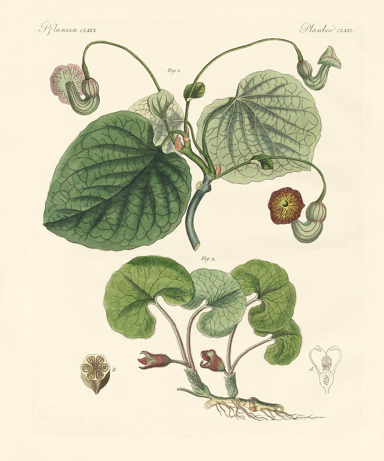 Kinds Of Aristolochia Plants by Splendid Art Prints