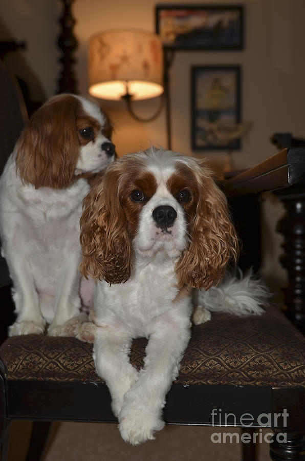 King Charles Dogs Photograph