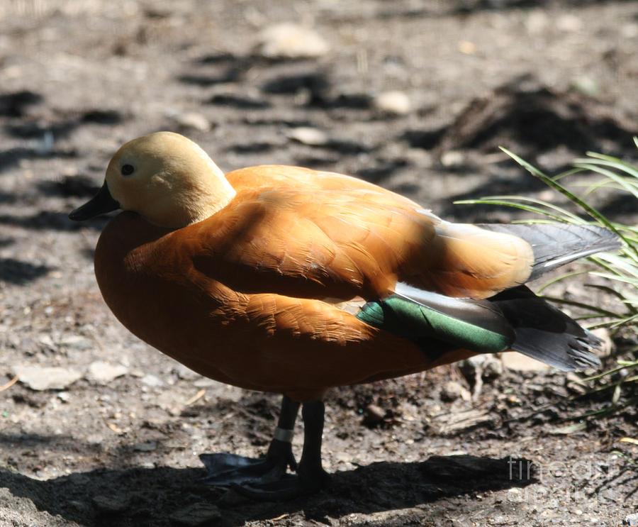 King Eider Duck Photograph - King Eider Duck by John Telfer