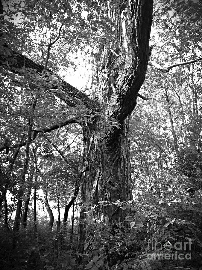 King Of The Timber Bw Photograph