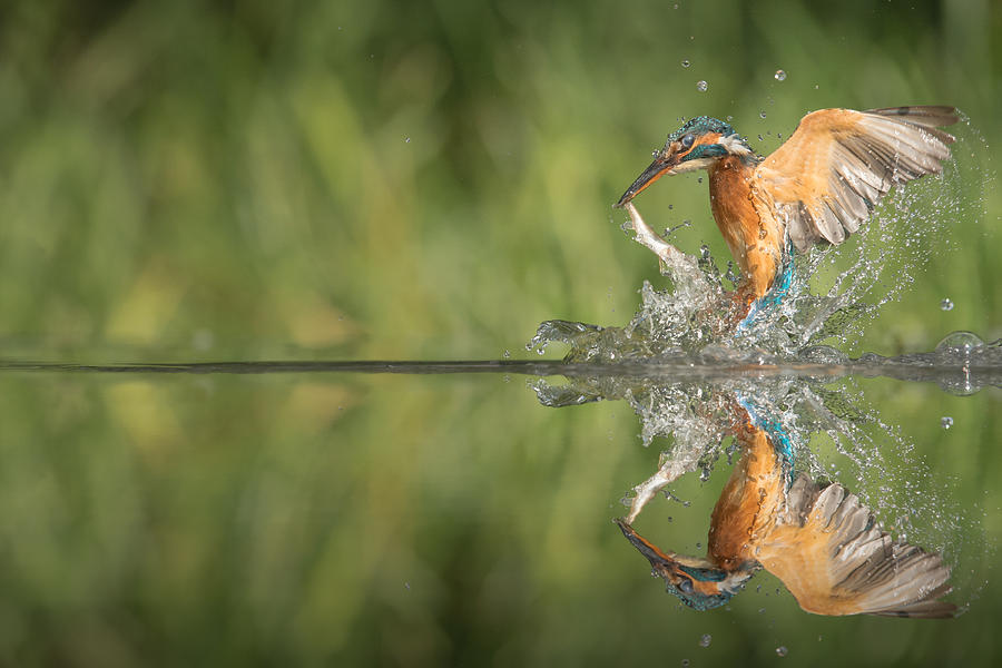 Kingfisher With Catch. Photograph