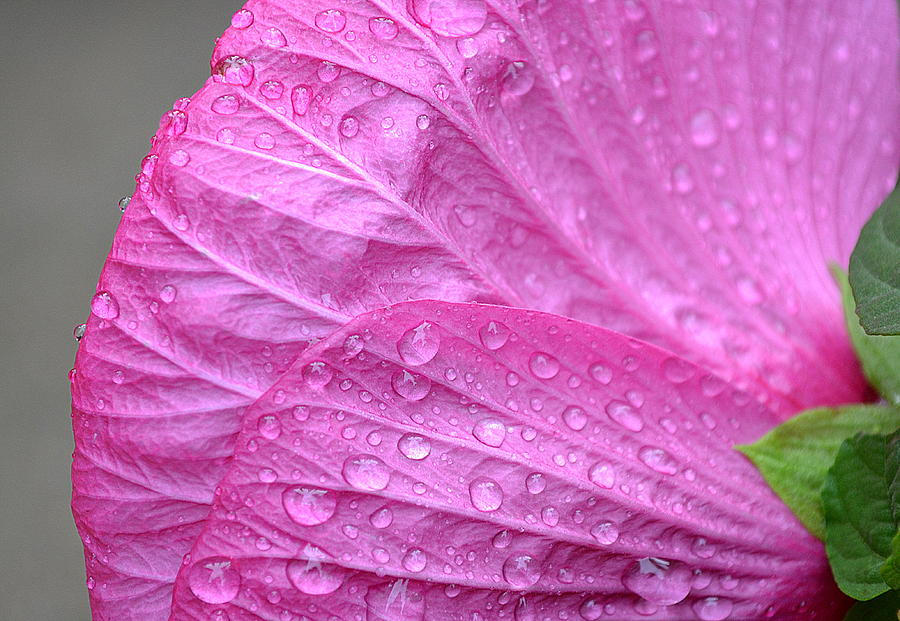 Pink Flower Photograph - Kissing Pink by Michelle Ayn Potter