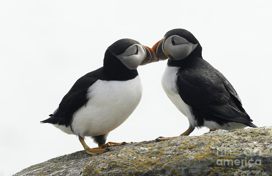 Kissing Puffins Digital Art