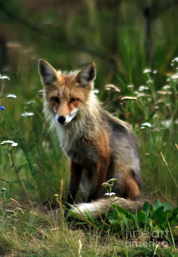 Kit Red Fox Photograph  - Kit Red Fox Fine Art Print