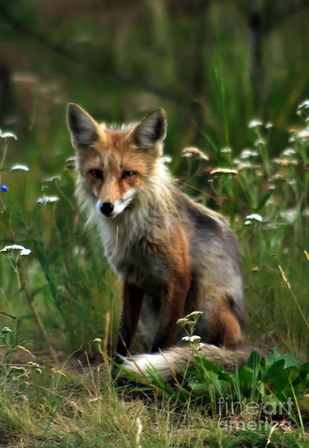 Vulpes Vulpes Photograph - Kit Red Fox by Robert Bales