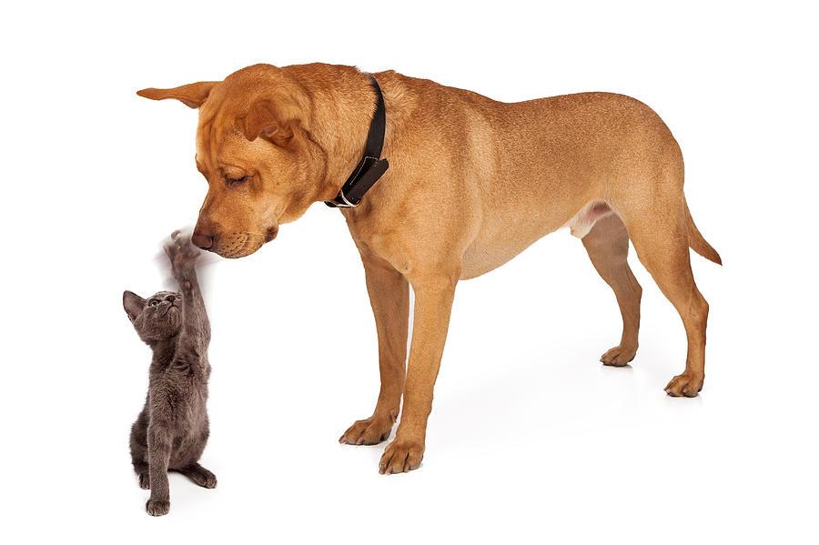 Dog Photograph - Kitten Batting At Nose Of Large Breed Dog by Susan Schmitz