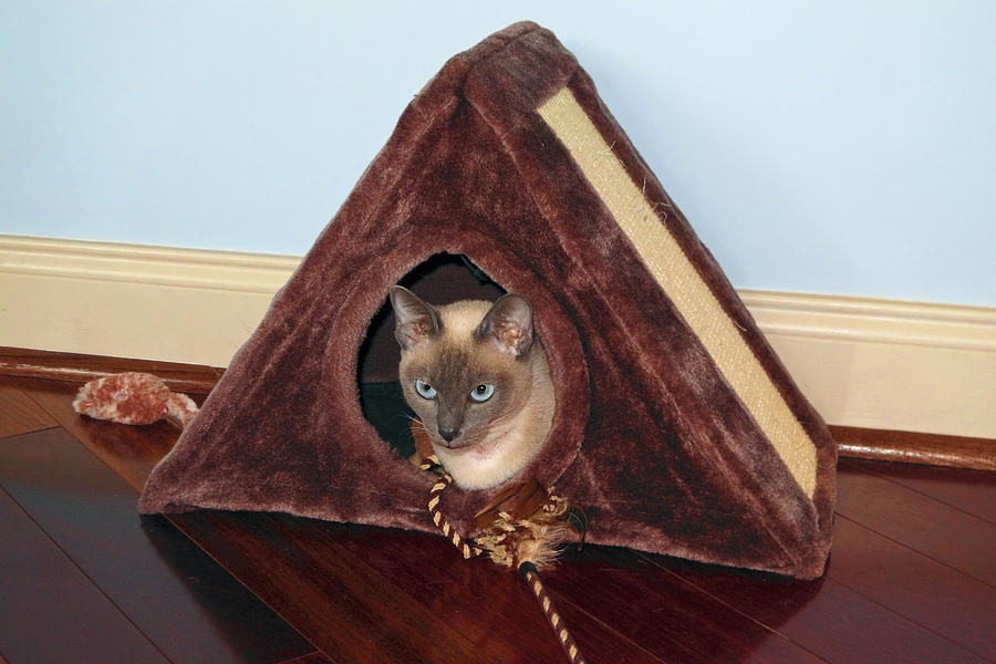 Tonkinese Kitten Photograph - Kitty A-frame by Sally Weigand