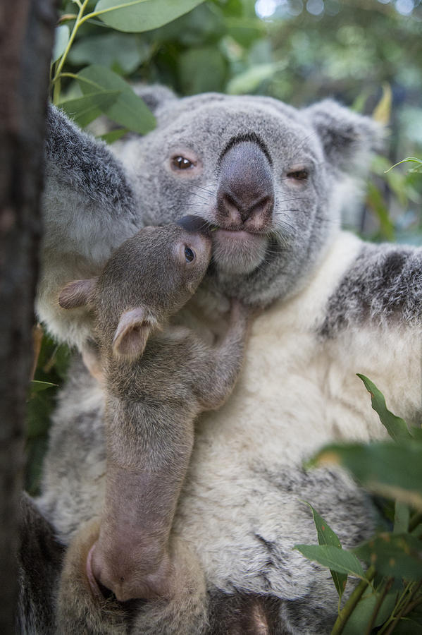 Koala Joey Exiting Pouch To Nuzzle Photograph by Suzi ...
