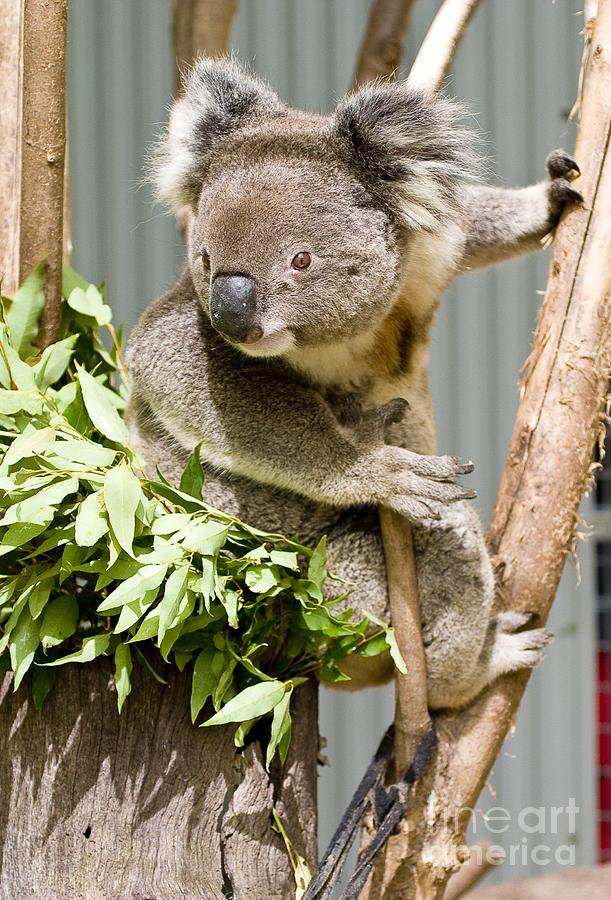 Koala Photograph
