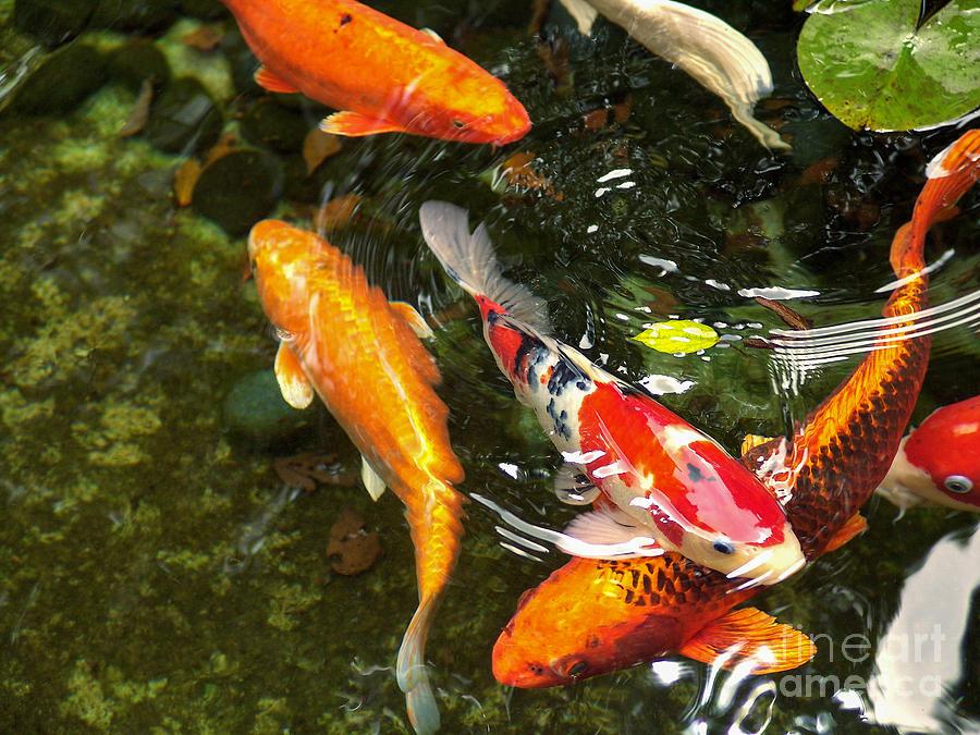 Koi fish japan photograph by john swartz for American koi fish
