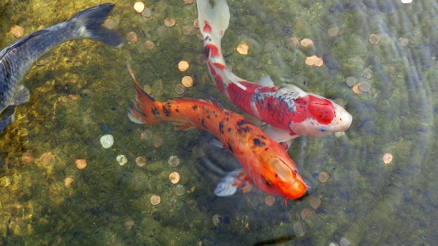 Koi fish photograph koi fish fine art print for Koi prints for sale