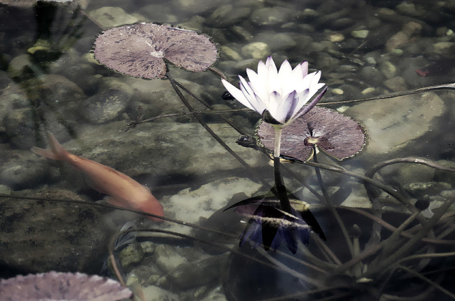 Koi pond with lily pads and flower color photograph by for Koi pond color