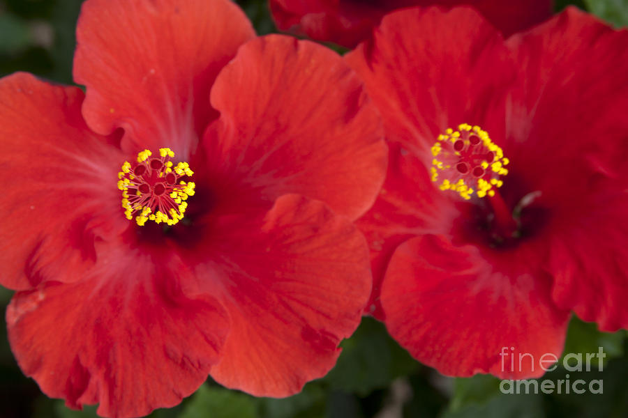 Kokio Ulaula - Tropical Red Hibiscus Photograph