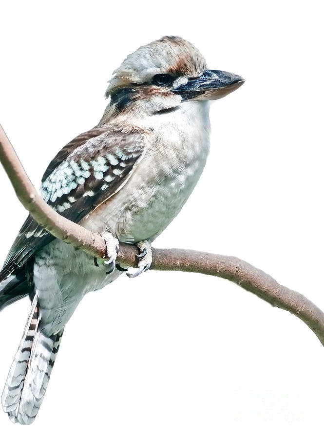 Kookabura Bird On White Photograph