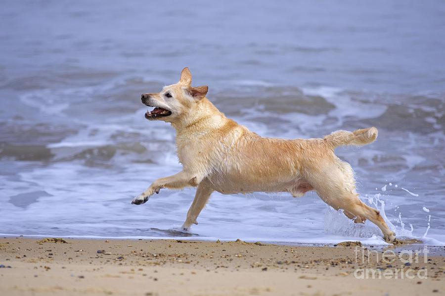 Labrador Cross Dog Running Photograph