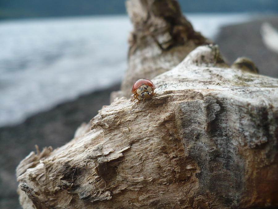 Lady Bug A Drift Photograph  - Lady Bug A Drift Fine Art Print