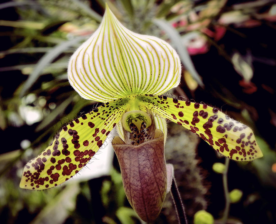 Lady Slipper Orchid Photograph