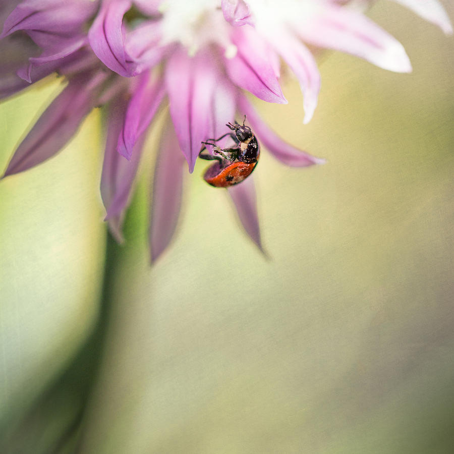 Ladybird In The Chives Photograph