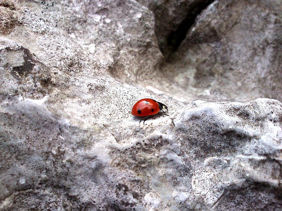 Ladybird Photograph - Ladybird by Lucy D