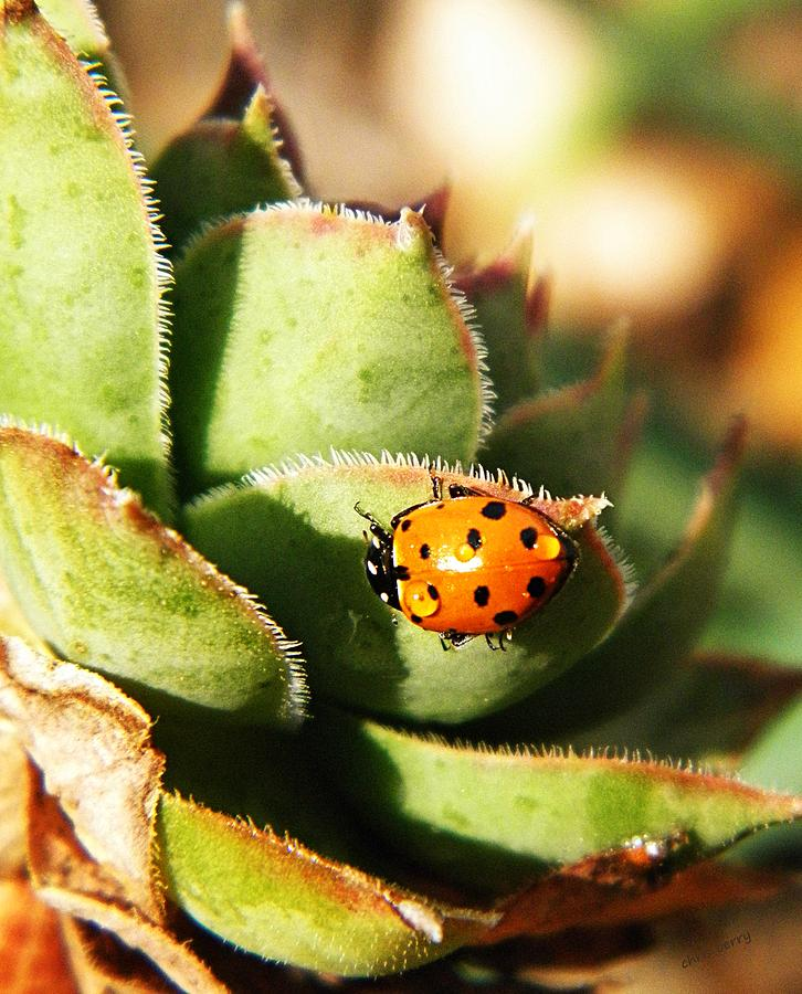 Ladybug And Chick Photograph