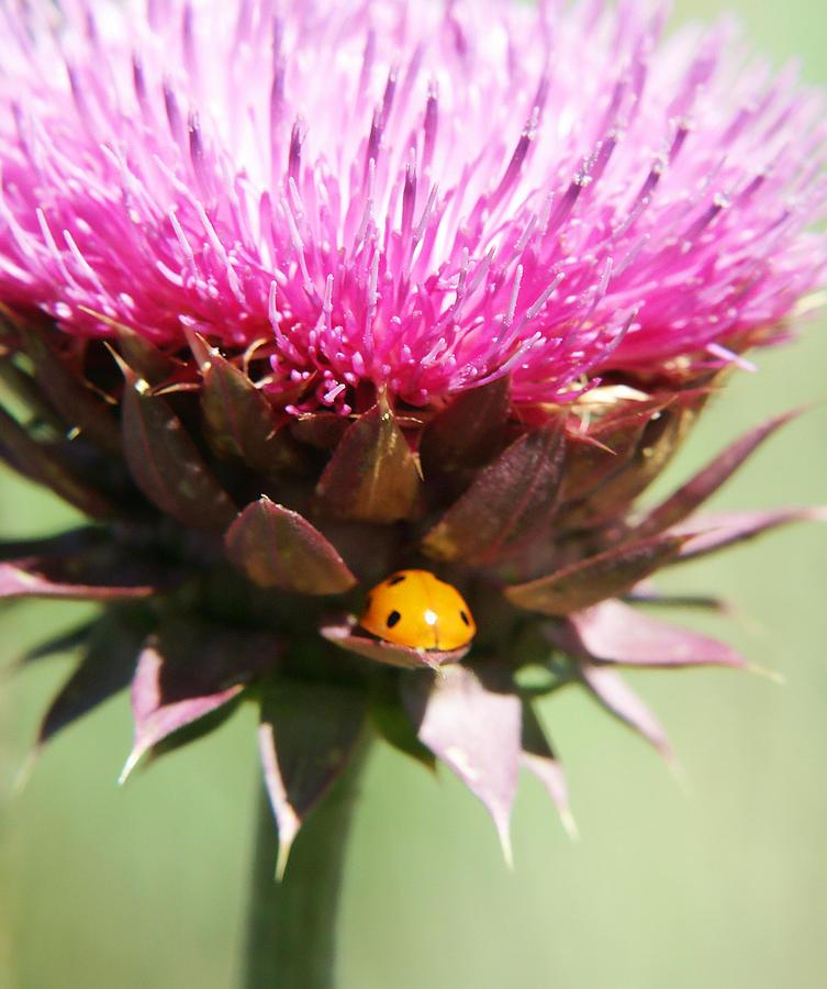 Ladybug And Thistle Photograph