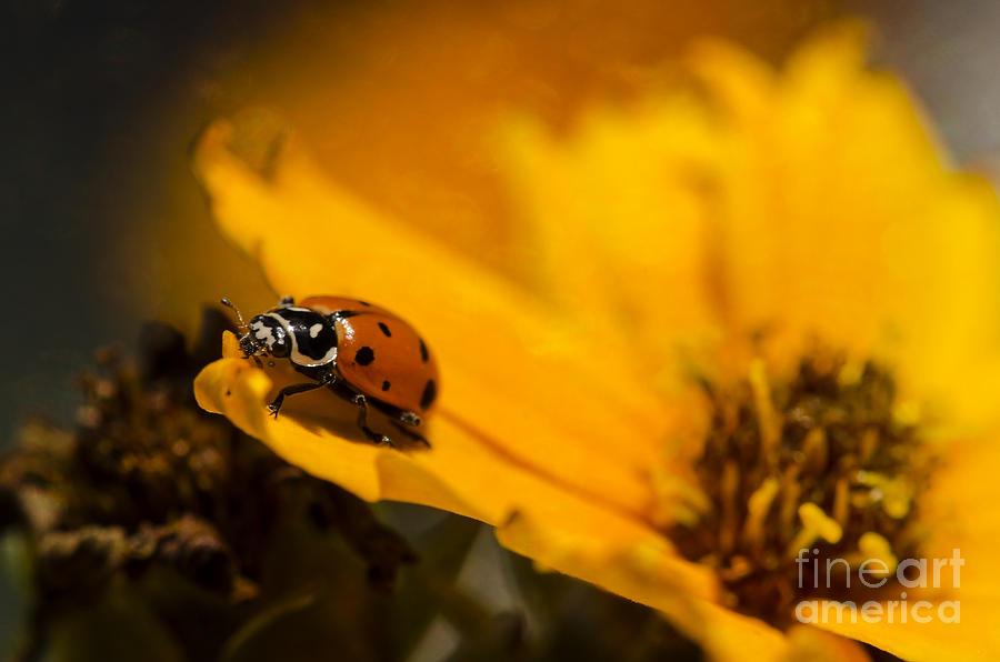 Ladybug Photograph - Ladybug by Nicole Markmann Nelson