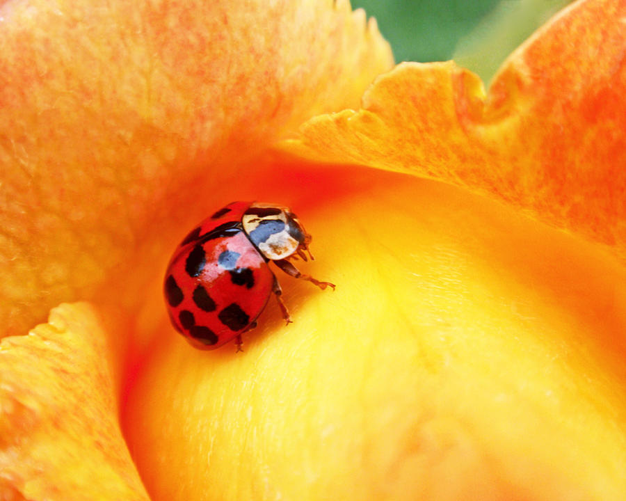 Ladybug is a photograph by Rona Black which was uploaded on December ...
