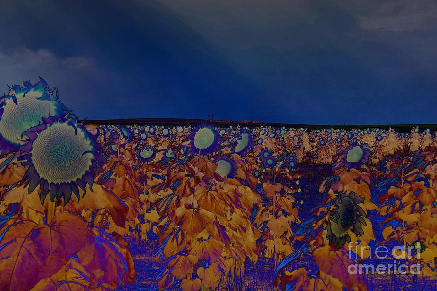 Land Of The Midnight Sunflower Photograph