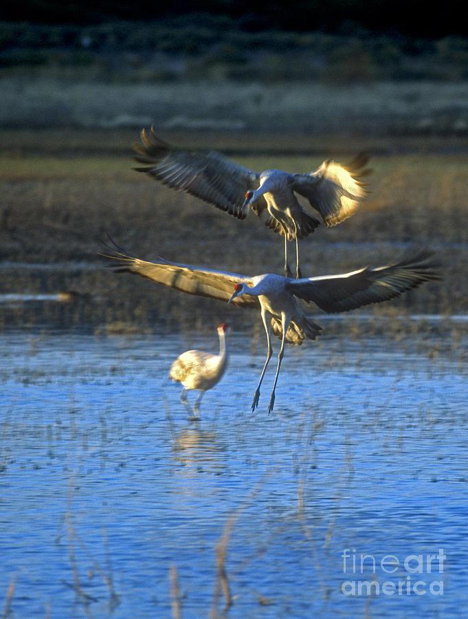 Bosque Photograph - Landing Sandhill Cranes by Steven Ralser