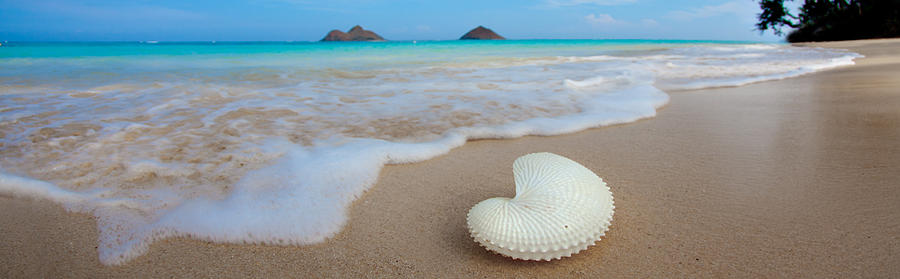 Lanikai Paper Nautilus Photograph  - Lanikai Paper Nautilus Fine Art Print