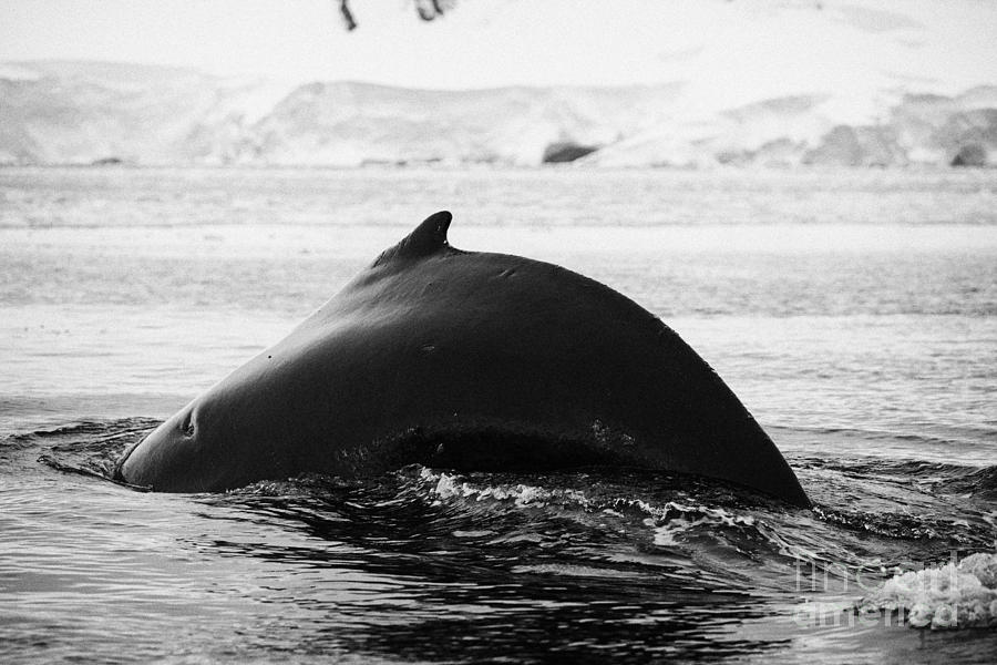 large male Humpback whale with arched back diving in Wilhelmina Bay Antarctica Photograph