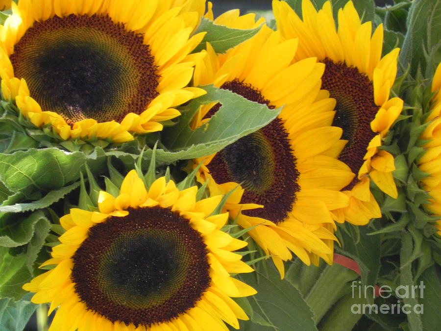 Large Sunflowers Photograph