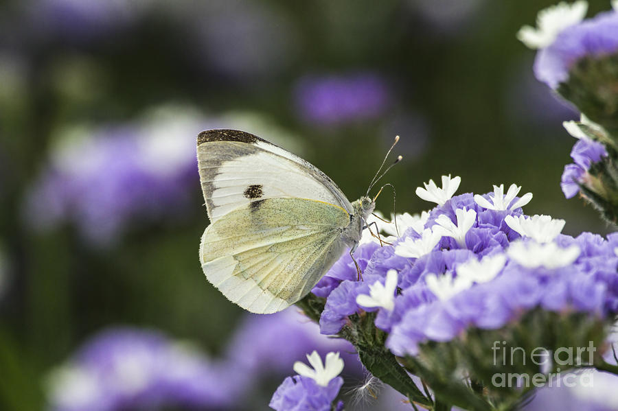 Large White Pieris Brassicae Photograph