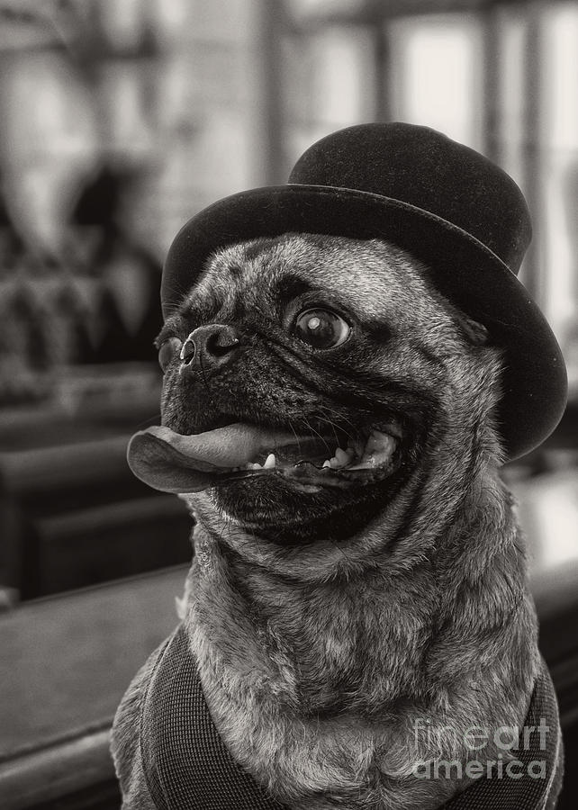 Pug Photograph - Last Call Pug Greeting Card by Edward Fielding