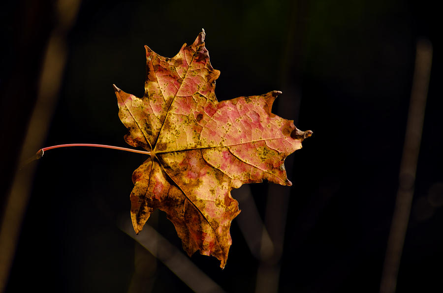 Autumn; Fall; Nature; Outdoor; Forest; Trees; Leaves; Leaf; Michigan; Foliage; Branches; Abstract; Background; Countryside; Isolated; Botany; Harvest; Closeup; September; October; November; Colorful; Orange; Red; Yellow; Green;macomb Photograph - Last Maple Leaf by LeeAnn McLaneGoetz McLaneGoetzStudioLLCcom