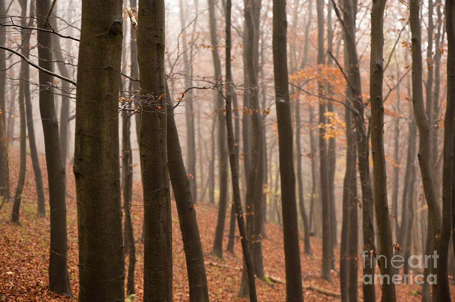 Late Autumn Beech Photograph  - Late Autumn Beech Fine Art Print