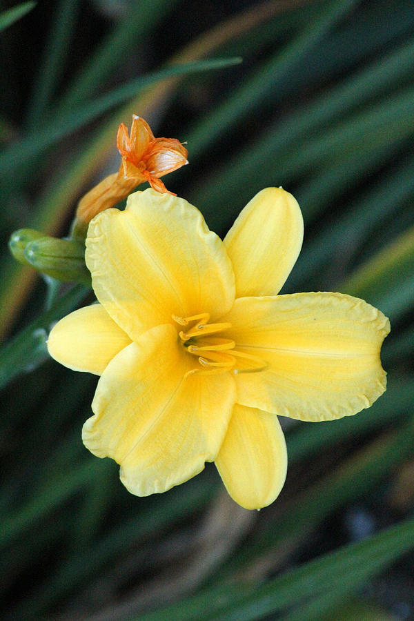 Late Summer Lily Photograph