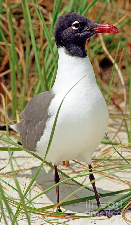 Laughing Gull Photograph