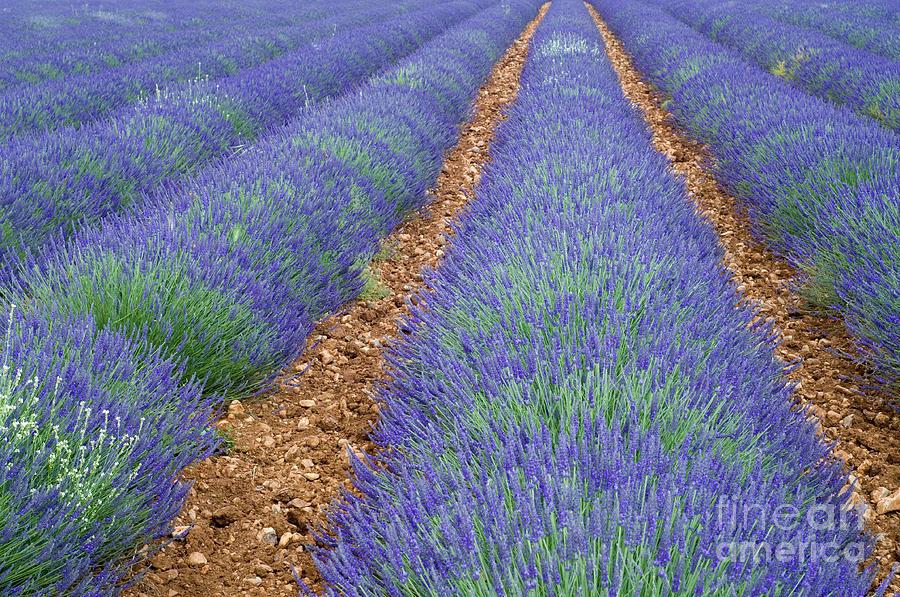 Lavendel 2 Photograph