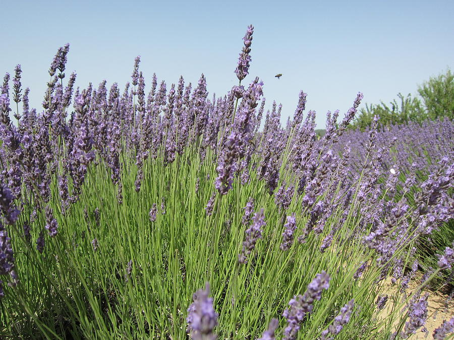 Lavender And The Bee Photograph